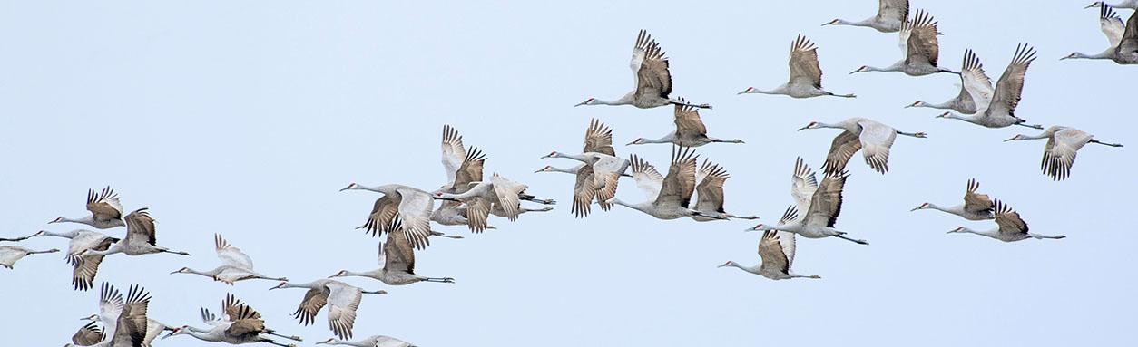 Study of migratory birds